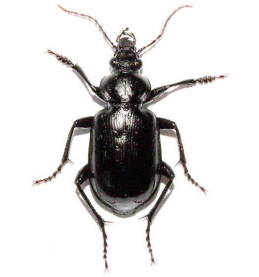 - - Calosoma affine - male