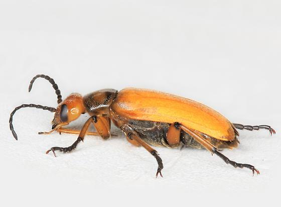 BG3109 E9490h - Nemognatha punctulata