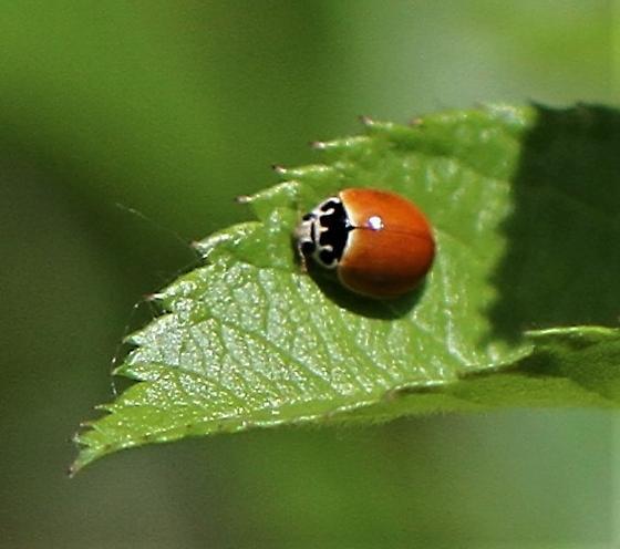 Red Lady Beetle - Cycloneda munda