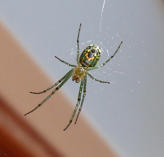 Is it Leucauge venusta ? - Leucauge venusta