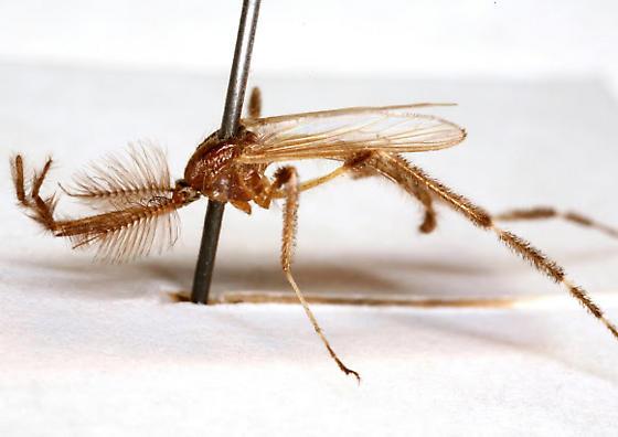 Psorophora ciliata (Fabricius) - Psorophora ciliata