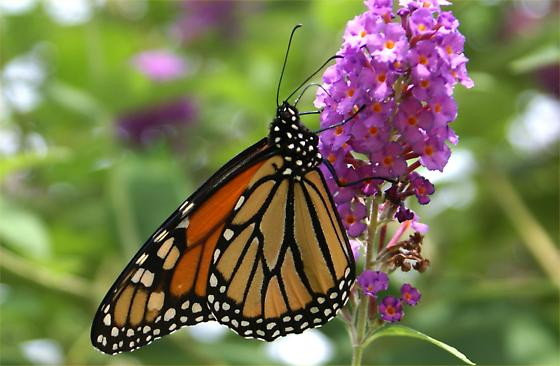 Monarch - First in 2013 - Danaus plexippus