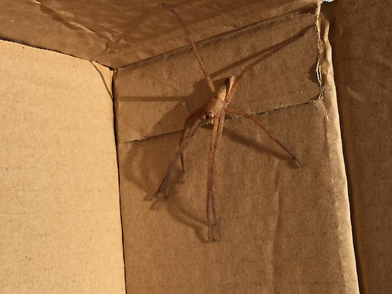 spider found in box from Florda - Pisaurina mira