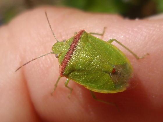 Green stink bug - Piezodorus? - Thyanta pallidovirens