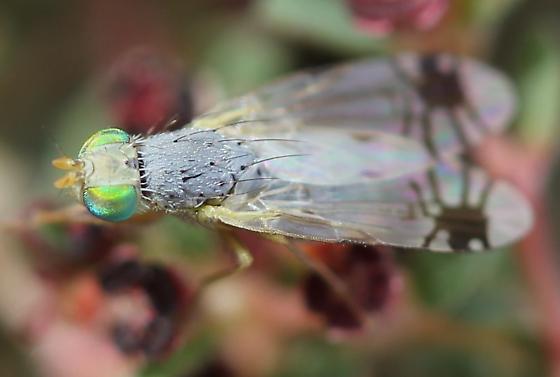 Tephritidae - Trupanea radifera