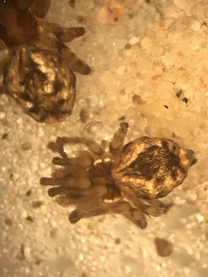 Mallos niveus - female