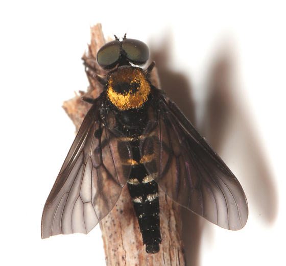 Rhagionidae, Golden-backed Snipe Fly, dorsal - Chrysopilus thoracicus - male