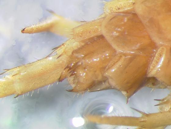 Lithobius forficatus - female