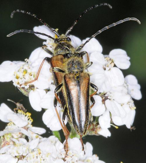 Cosmosalia nigrolineata, top view of mating pair - Lepturobosca nigrolineata - male - female