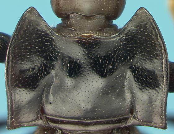 Endomychid - Aphorista morosa