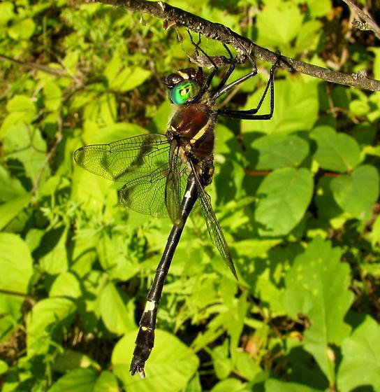 Macromia illinoiensis