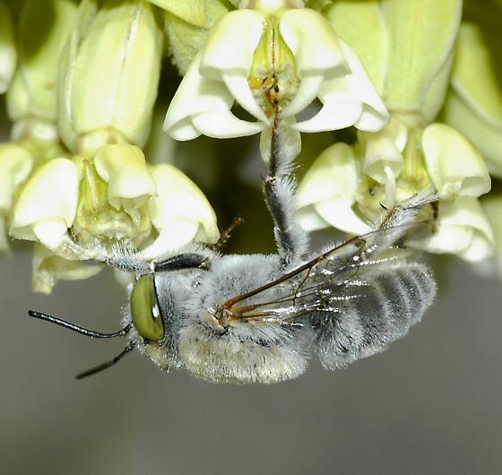 Gray bee on Desert Milkweed - Centris
