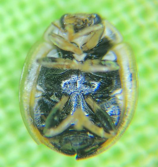 COCCINELLIDAE   Lady Beetle   Propylea quatuordecimpunctata