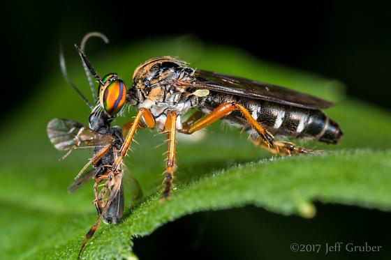 Asilid - Taracticus octopunctatus