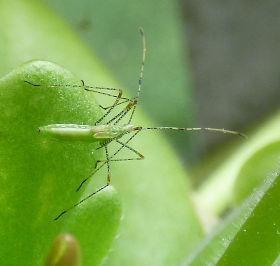Walking Stick Praying Mantis Bugguide Net
