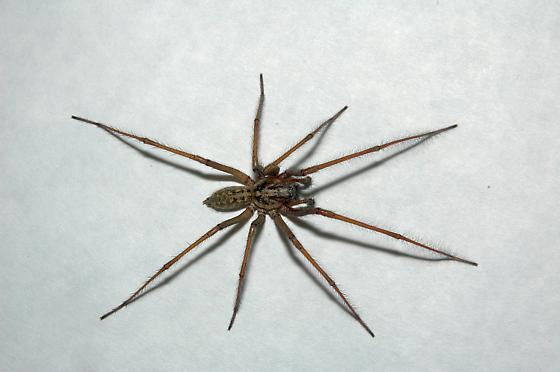 Possible 'Hobo' spider - Eratigena atrica - BugGuide.Net