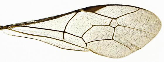 Male, Cryptinae? - Cryptus albitarsis - male