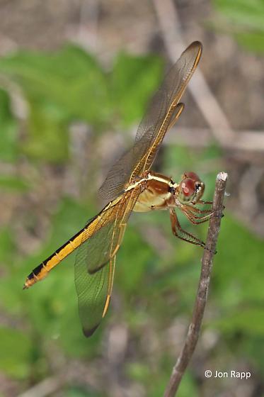 Needham's Skimmer Dragonfly - Libellula needhami - female