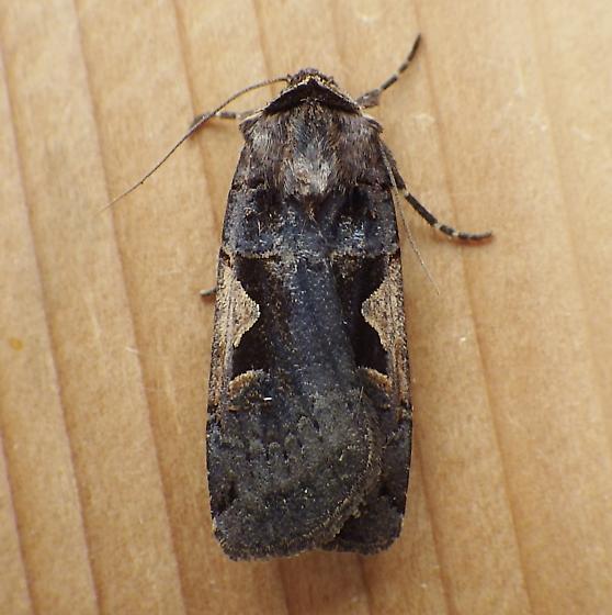 Noctuidae: Xestia - Xestia