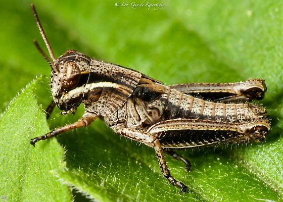 Orthoptera. Acrididae. - Melanoplus