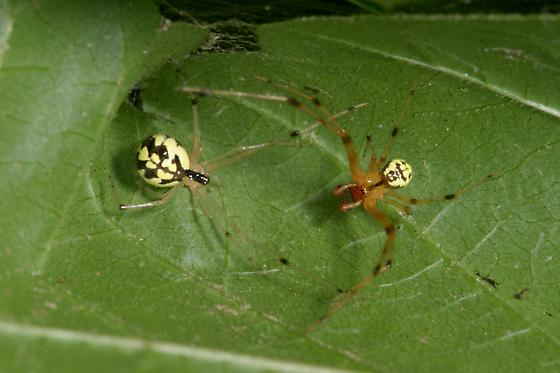 Spiders, female and male - Phylloneta pictipes - male - female