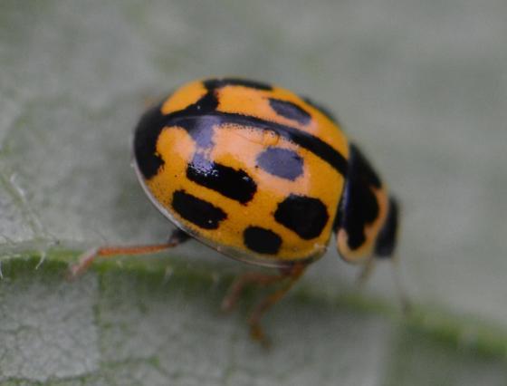 yellow lady beetle - Propylea quatuordecimpunctata