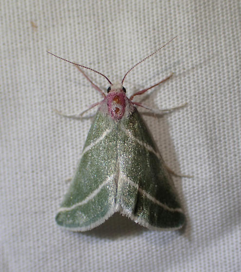 Moth - Anemosella nevalis