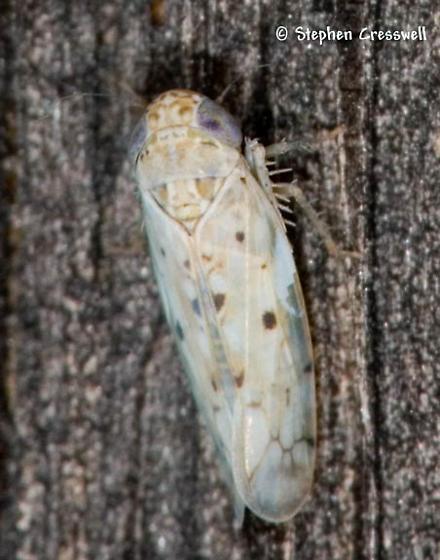 Pale Hopper - Atanus perspicillatus