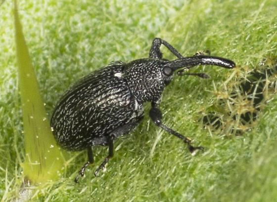 Weevil Sp. - Anthonomus