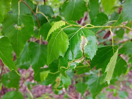 Linear mines on birch - Agromyza alnibetulae-maybe
