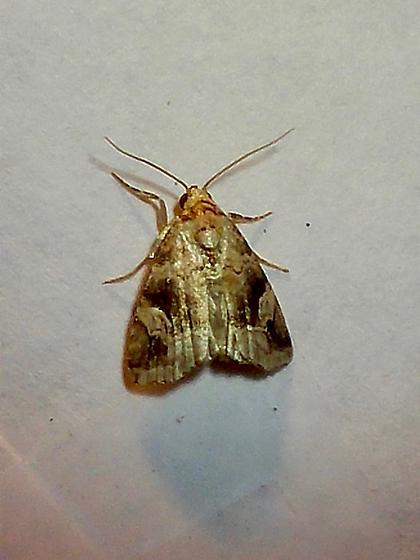 Noctuidae? sp. - Ozarba nebula