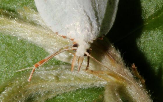 Tortricidae, frontal - Cenopis pettitana