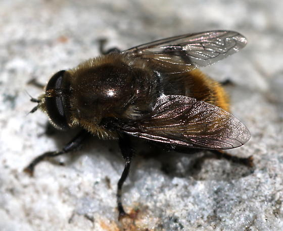Bumblebee mimic - Merodon equestris