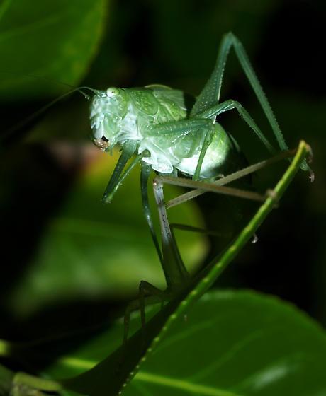 What kind of katydid is this? - Microcentrum - female