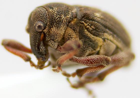 which weeeevil - Rhinoncus pericarpius