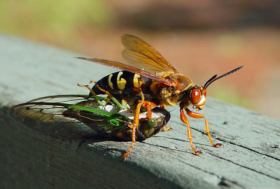 The Texas Sized Cicada Killer Insects In The City