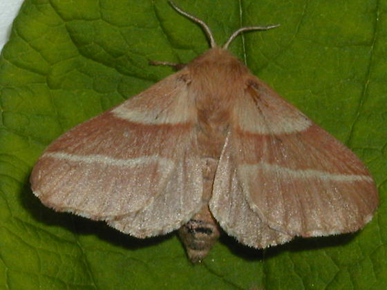 Eastern Tent Moth - Malacosoma americana - female