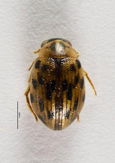 Berosus? - Berosus pantherinus