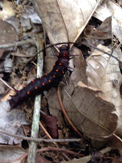 Caterpillar - Battus philenor