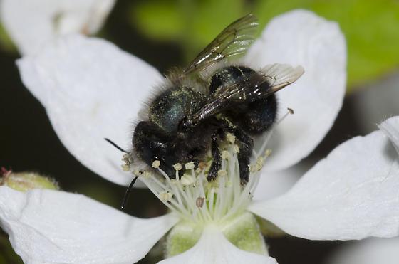 Blue Orchard Bee - Osmia lignaria