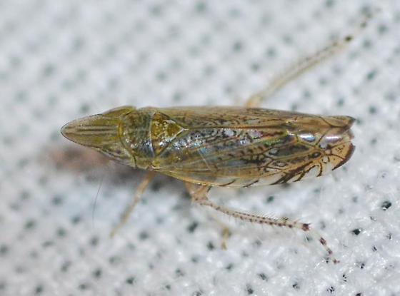 leafhopper - Scaphytopius nr-majestus