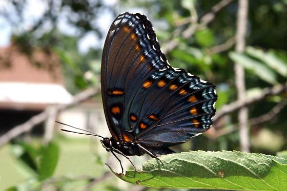 Red-Spotted Purple Admiral For Illinois In July - Limenitis arthemis