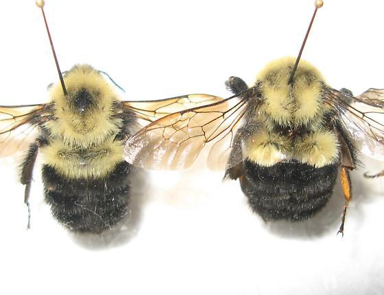 B. bimaculatus and impatiens - Bombus - female