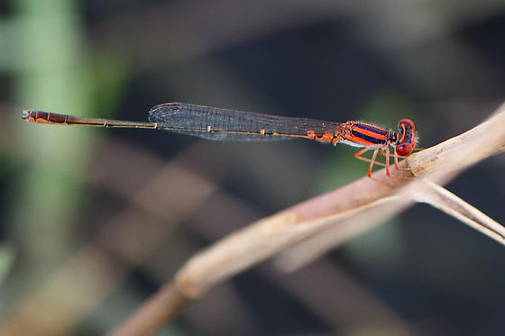 Cherry bluet - Enallagma concisum - male
