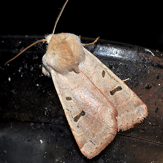moth at sugar water - Dichagyris variabilis