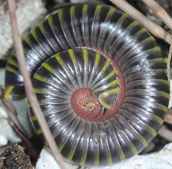 Rhinocricidae - Anadenobolus monilicornis