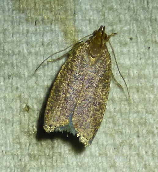unknown moth - Psilocorsis