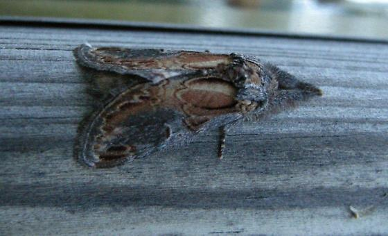 finned willow prominent moth - Notodonta scitipennis