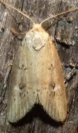 6/23/19 moth - Acrapex relicta