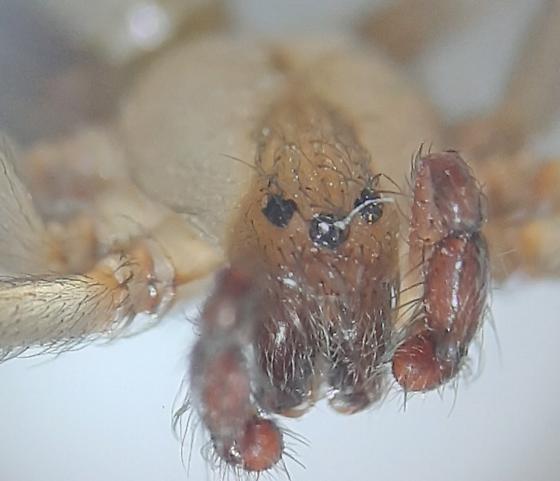 Loxosceles arizonica  - Loxosceles arizonica - male